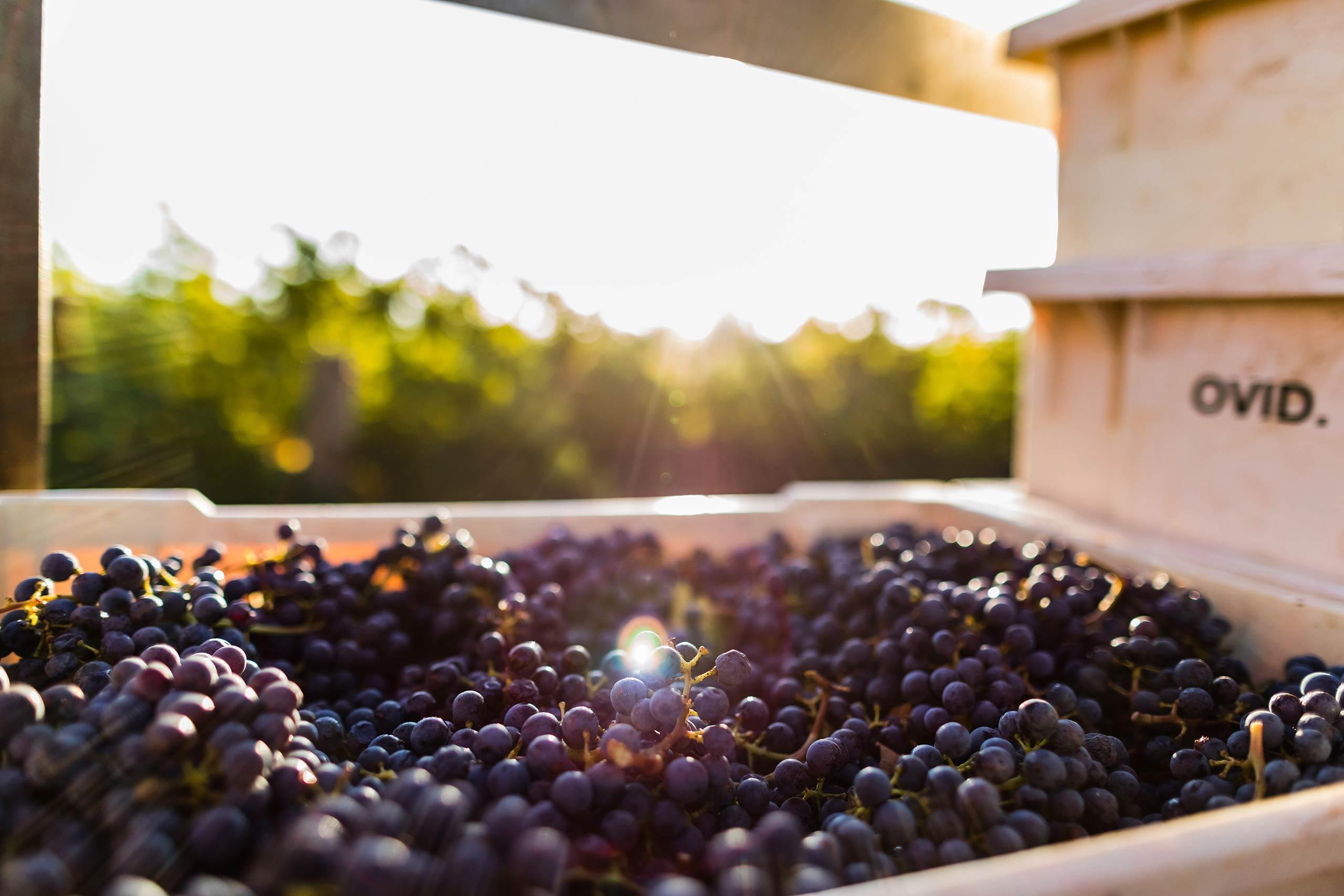 Harvested bin of grapes